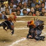 Keuntungan Membaca Artikel Sabung Ayam