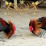 Panduan Main Sabung Ayam Secara Online