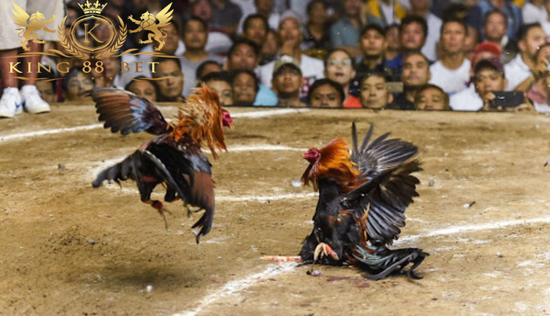Bandar Sabung Ayam Terbaik