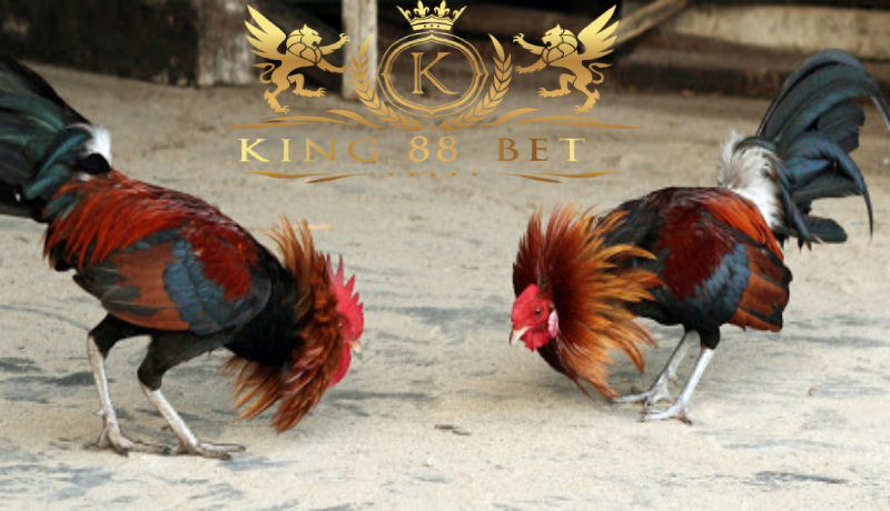Situs Sabung Ayam Terbesar Panduan Main Sabung Ayam Secara ...