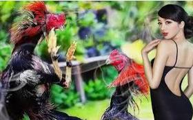 agen Ayam petarung