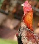 agen Ayam terpercaya